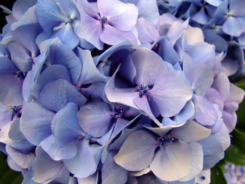 Hydrangea hortensia royalty-vrije stock afbeelding
