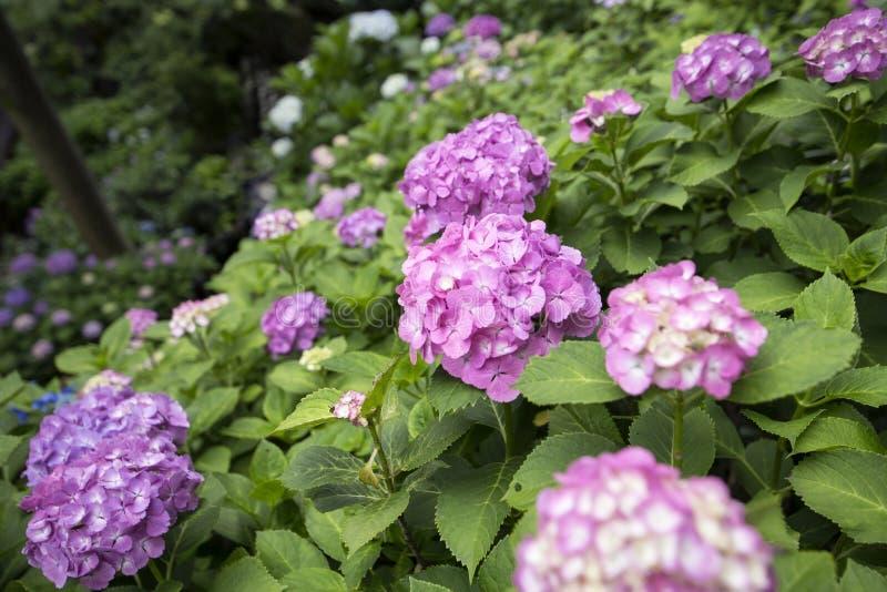 Hydrangea hortensia bij Japanse Tempel in Kamakura stock foto's