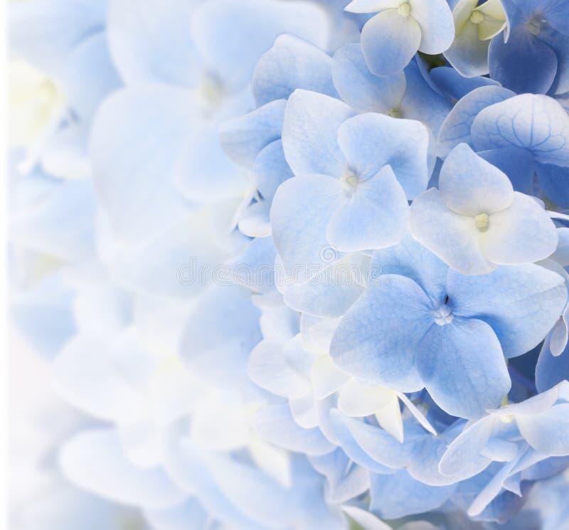 Hydrangea hortensia bloemenachtergrond royalty-vrije stock afbeeldingen