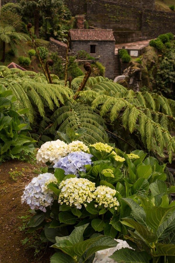 Hydrangea hortensia royaltyfria foton