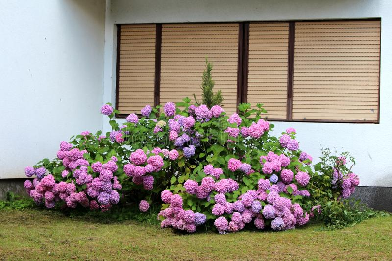 Hydrangea or Hortensia large garden shrub full of open blooming pink to violet flowers with pointy petals densely planted in front. Of family house surrounded royalty free stock photography