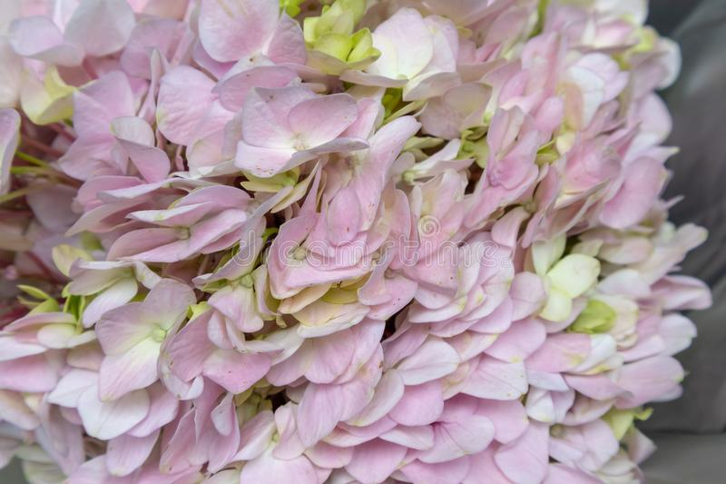 Hydrangea hortensia macrophylla-verse snijbloemen royalty-vrije stock foto