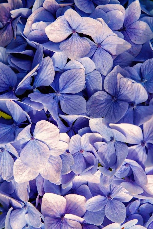 Hydrangea hortensia met blauwe bloemblaadjes in Oban, het Verenigd Koninkrijk De bloesem van de hydrangea hortensiabloem E Natuur stock foto