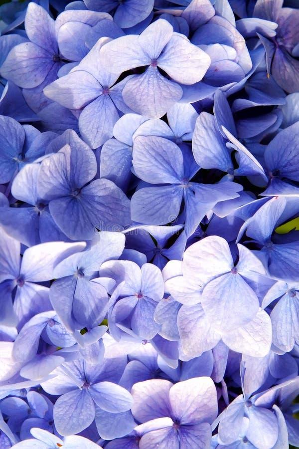 Hydrangea hortensia met blauwe bloemblaadjes in Oban, het Verenigd Koninkrijk De bloesem van de hydrangea hortensiabloem E Natuur royalty-vrije stock foto's