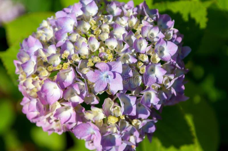 Hydrangea (Hortensia) Stock Photo
