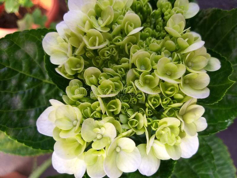 Hydrangea hortensiabloem in bloei stock afbeelding