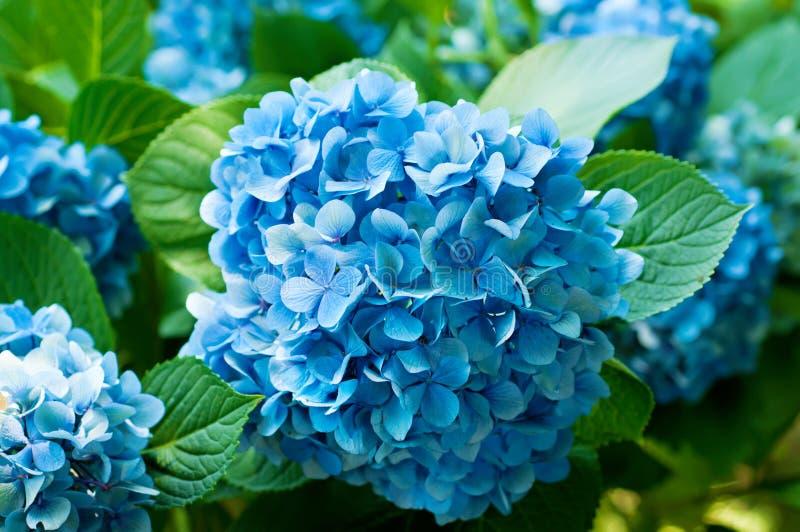 Hydrangea hortensiabloemen stock foto's