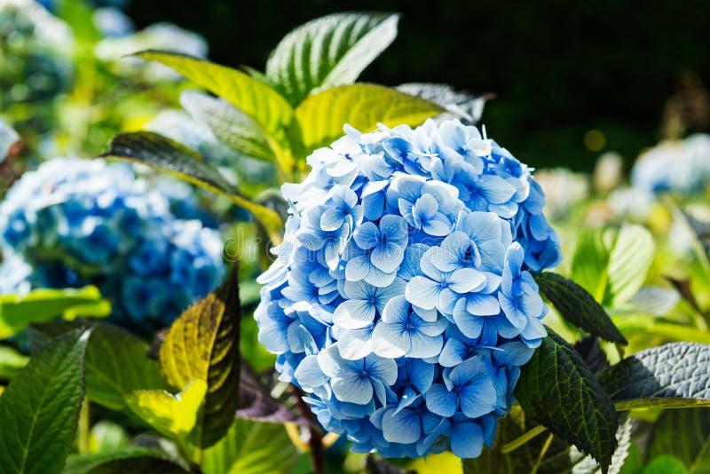 Hydrangea hortensiabloemen in de tuin stock foto