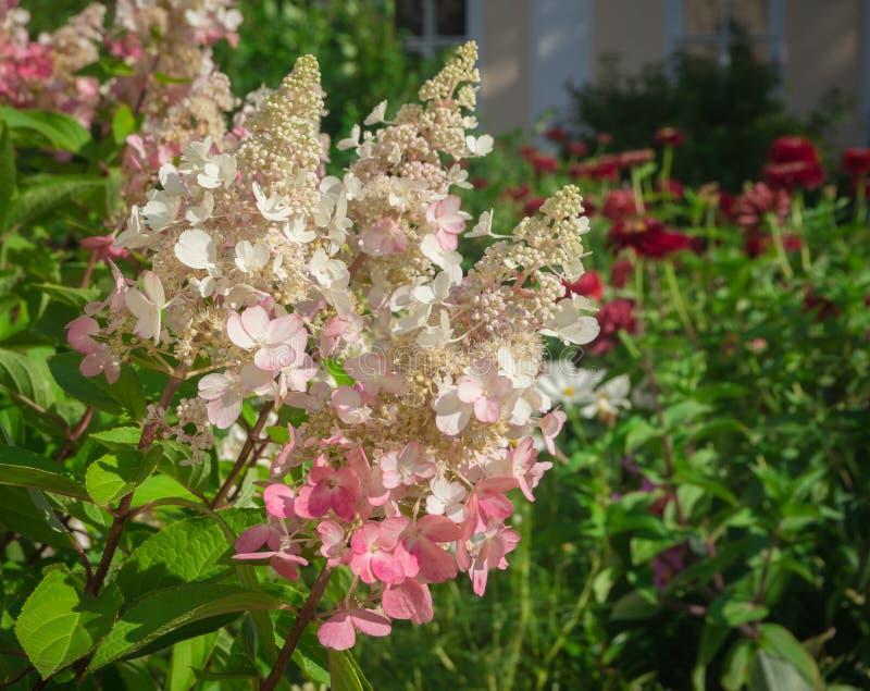 Hydrangea hortensiapaniculata - pink Winky Bloemen achtergrond stock foto's