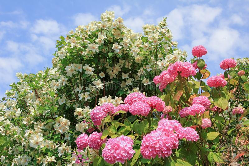Hydrangea hortensiastruik en jasmijnstruik, tegen blauwe hemel met pluizige wolken royalty-vrije stock fotografie