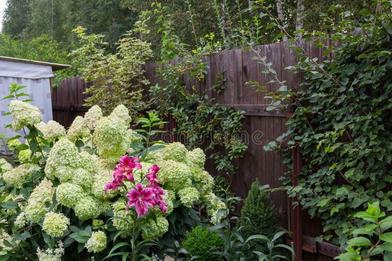 Hydrangea hortensiastruik en roze lelie stock afbeelding
