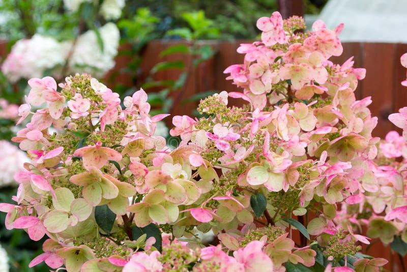 Hydrangea hortensiastruik met roze kappen van bloemen royalty-vrije stock foto's