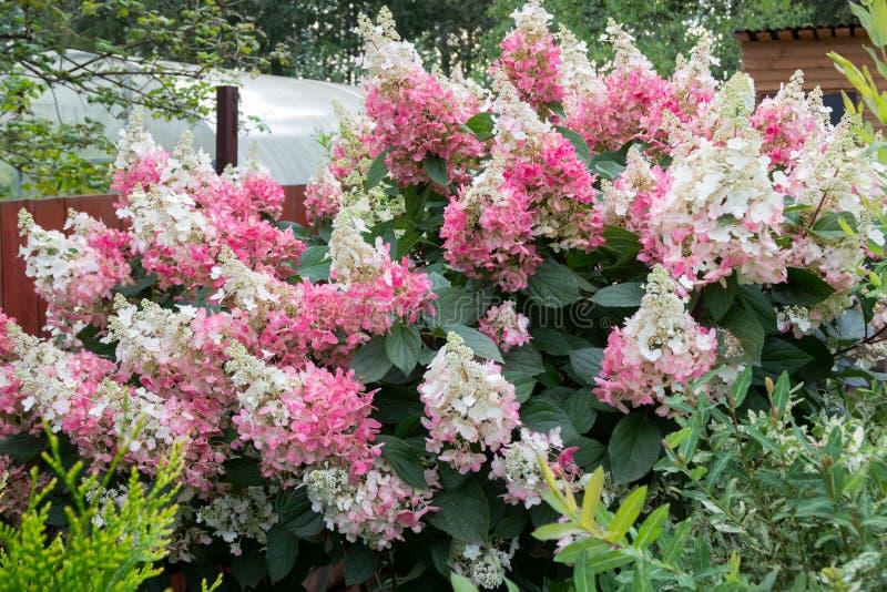 Hydrangea hortensiastruik met roze kappen van bloemen stock fotografie