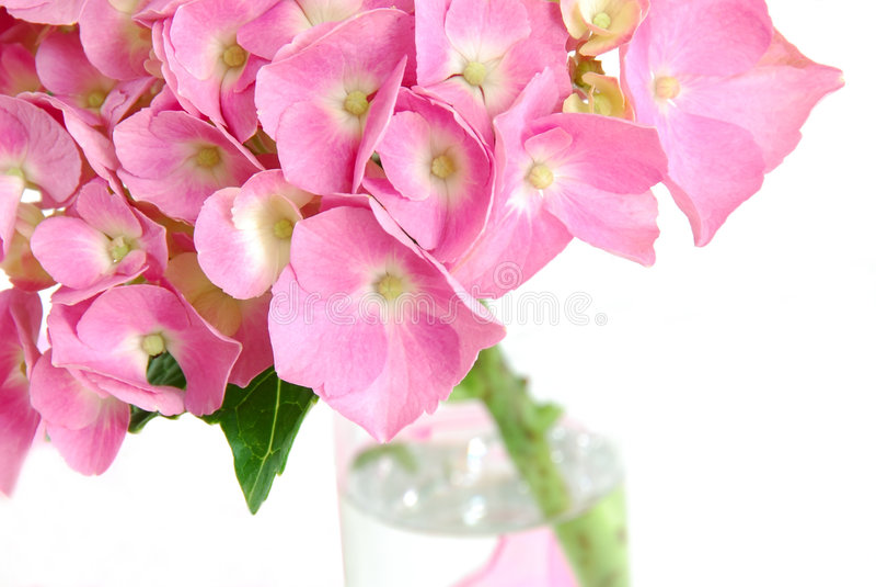 hydrangea lacecap στοκ εικόνες