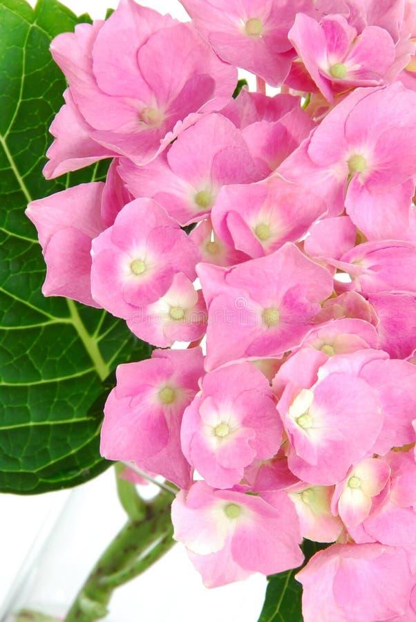 hydrangea lacecap στοκ φωτογραφίες