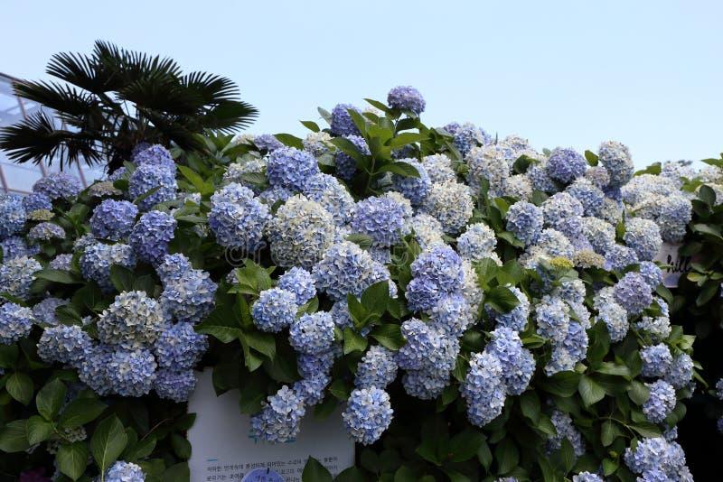 Hydrangea Macrophylla Flower in Jeju, Korea. Photo taken in July in Jeju, South Korea royalty free stock photos