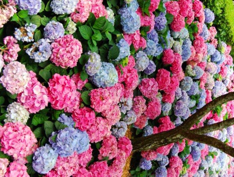 Hydrangea nei multi colori immagine stock