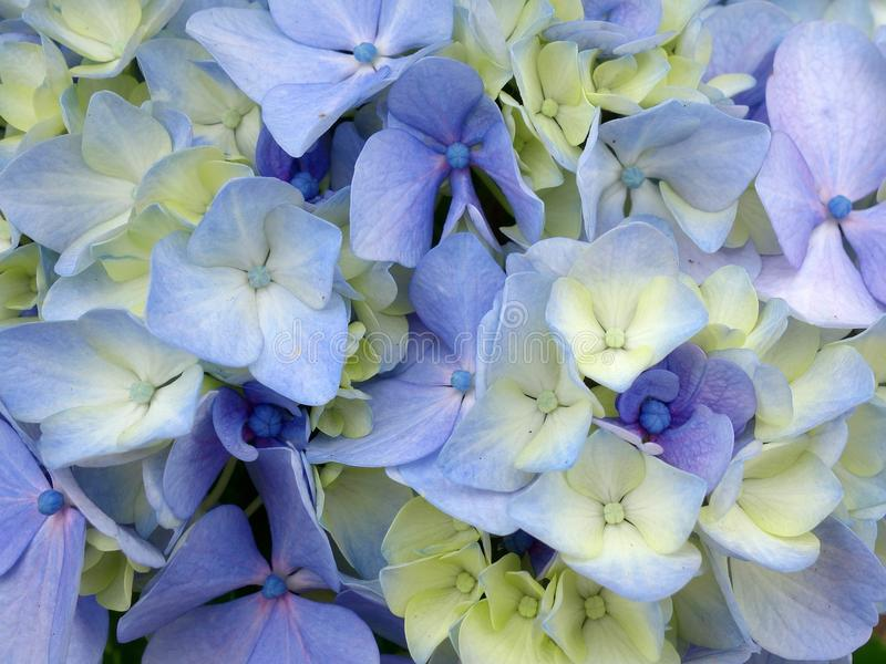 Hydrangea Flowers, Subtle Blue and Yellow Petals stock images