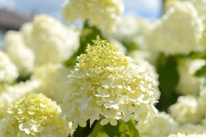 Hydrangea paniculata `Limelight` flower. stock images
