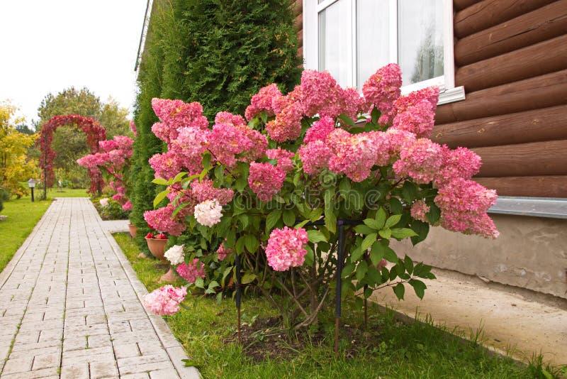 Hydrangea paniculata vanilla FRAS/ Rennie Hydrangea paniculata ' Vanille Frise' decoração de jardim de outono fotos de stock royalty free