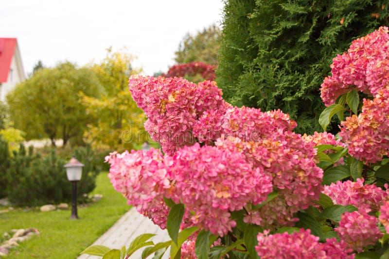 Hydrangea paniculata vanilla FRAS/ Rennie Hydrangea paniculata ' Vanille Frise' decoração de jardim de outono imagem de stock royalty free