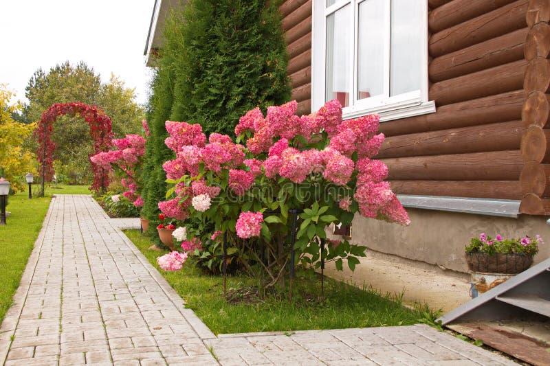 Hydrangea paniculata vanilla FRAS/ Rennie Hydrangea paniculata ' Vanille Frise' decoração de jardim de outono imagens de stock royalty free