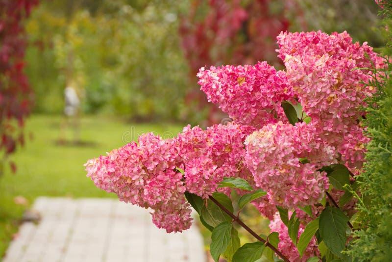 Hydrangea paniculata vanilla FRAS/ Rennie Hydrangea paniculata ' Vanille Frise' decoração de jardim de outono imagem de stock