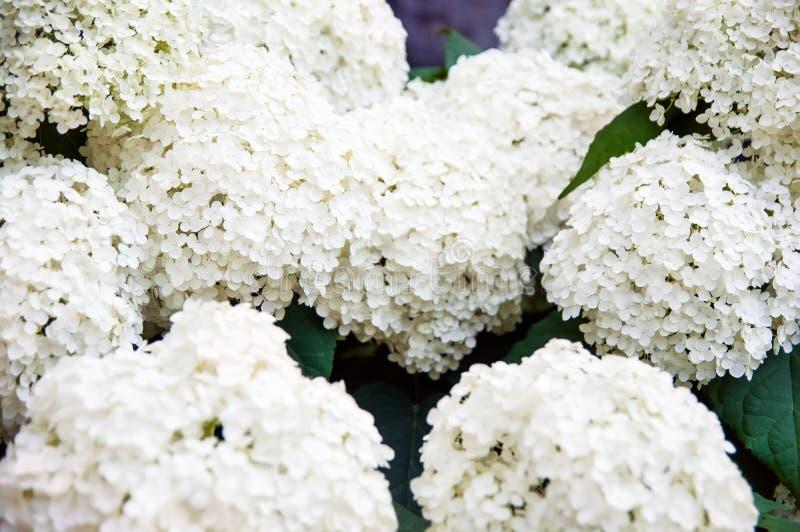 Hydrangea paniculata stock images