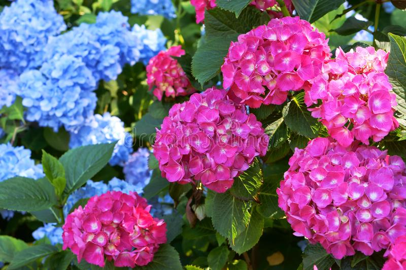 Hydrangea pink and cyan bushy shrub with huge caps of flowers blue download hydrangea pink and cyan bushy shrub with huge caps of flowers blue and mightylinksfo