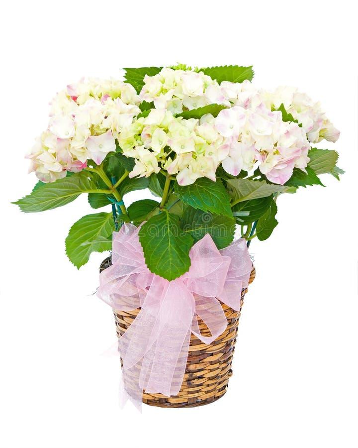 Hydrangea plant sympathy flower arrangement. Isolated on white royalty free stock image