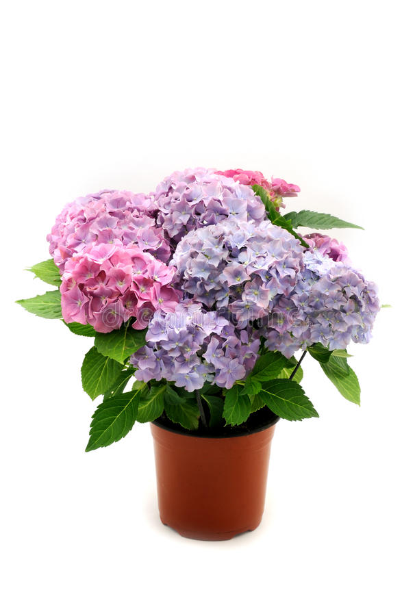 Hydrangea in the pot stock image. Image of plant, hortensia - 11117179