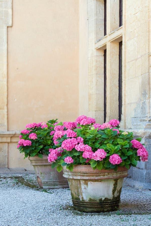 Hydrangea pots royalty free stock images