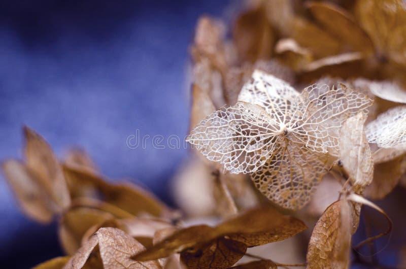 hydrangea Skeletoned kronblad Vanlig hortensiaskelett Döda vanlig hortensiablommor arkivbild