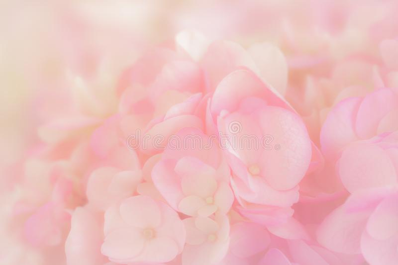 Hydrangea with soft pastel color in blur style. Hydrangea with soft pastel color in  blur style for background stock images
