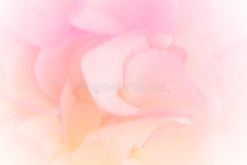 Hydrangea with soft pastel color in  blur style. Hydrangea with soft pastel color in  blur style for background royalty free stock photo