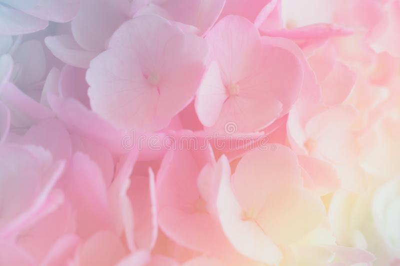 Hydrangea with soft pastel color in  blur style. Hydrangea with soft pastel color in  blur style for background royalty free stock image
