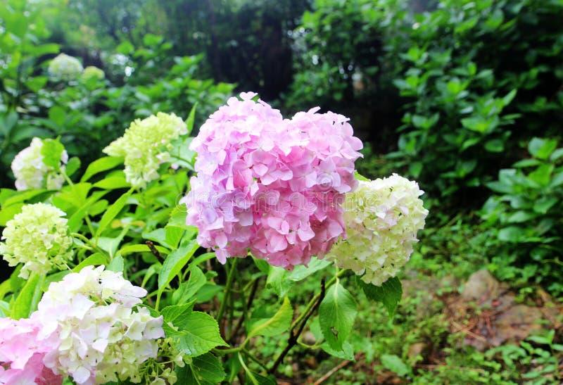 Hydrangea suguk Festival in taejongsa buddhist temple, Taejongdae, Busan, South Korea, Asia. Hydrangea Festival in taejongsa buddhist temple, Taejongdae, Busan stock images