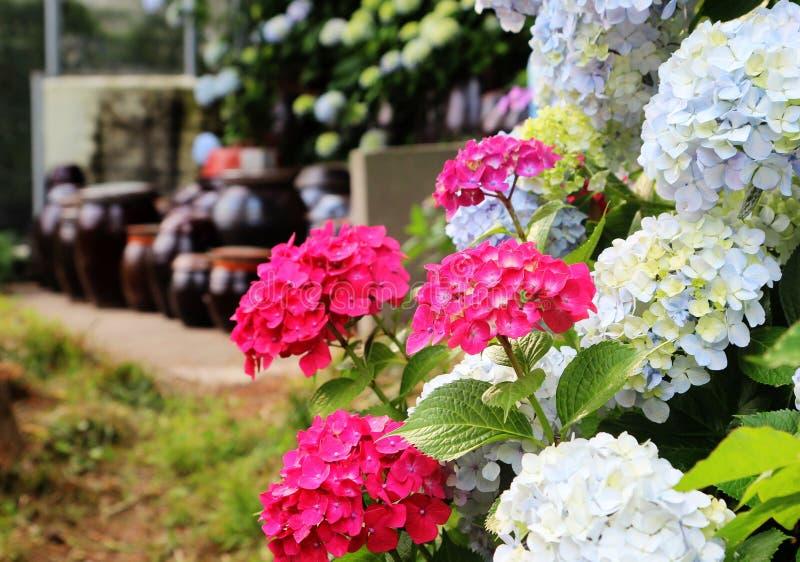 Hydrangea suguk Festival in taejongsa buddhist temple, Taejongdae, Busan, South Korea, Asia.  stock photography