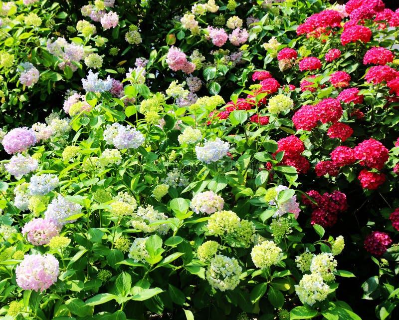 Hydrangea suguk Festival in taejongsa buddhist temple, Taejongdae, Busan, South Korea, Asia.  royalty free stock images
