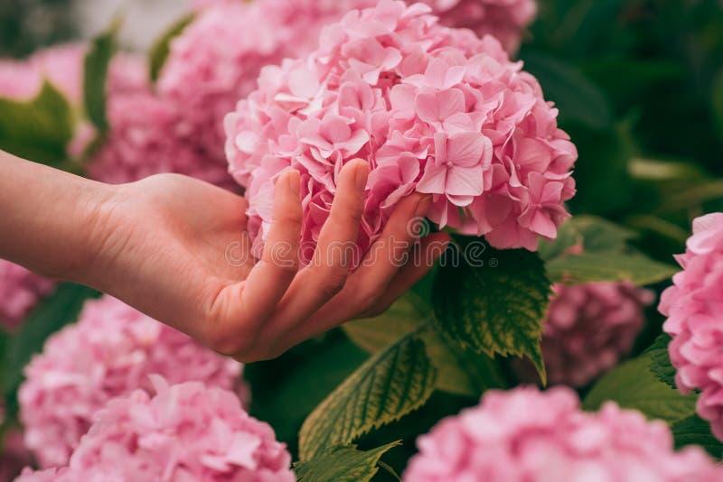 hydrangea Vår och sommar Omsorg och bevattna för blomma jorder och gödningsmedel handskincare Växthusblommor Kvinna arkivbilder