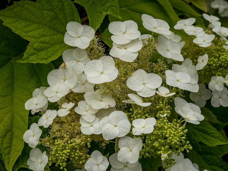 Hydrangea white and green royalty free stock photography