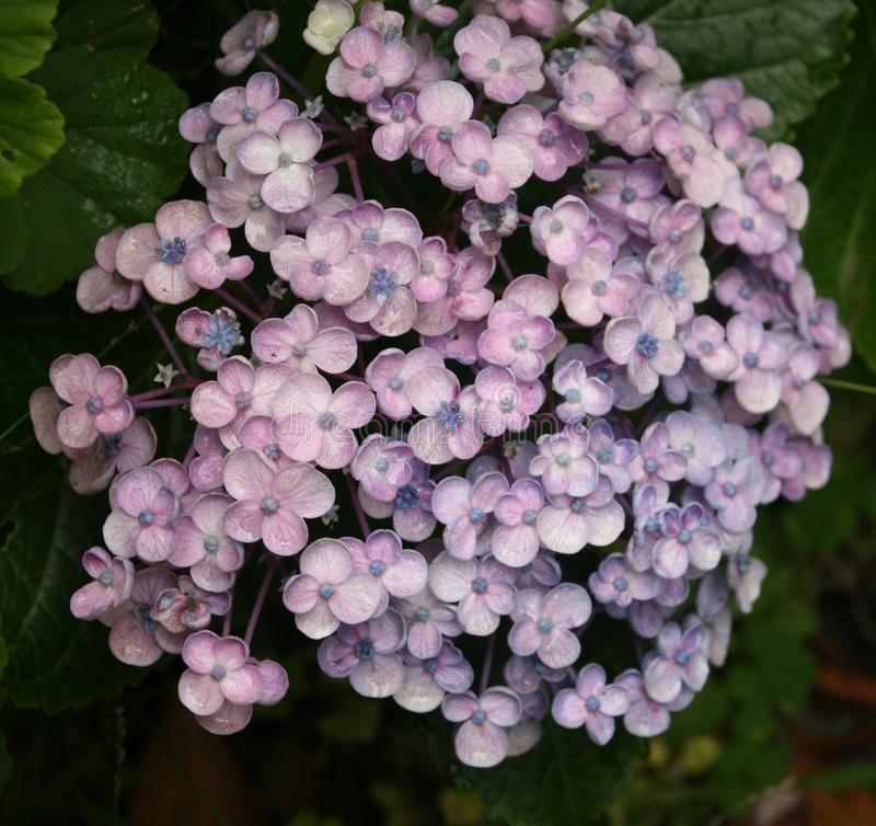 Hydrangea young flower royalty free stock photography
