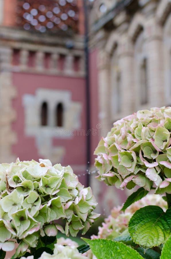 Hydrangeas στοκ εικόνες