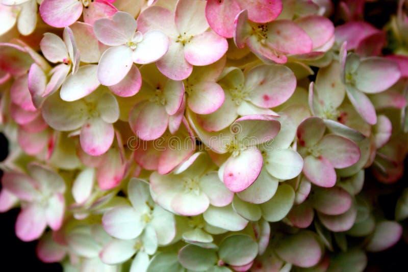 hydrangeas στοκ εικόνα με δικαίωμα ελεύθερης χρήσης