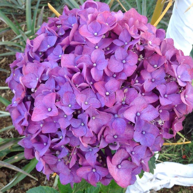 hydrangeas royaltyfri foto