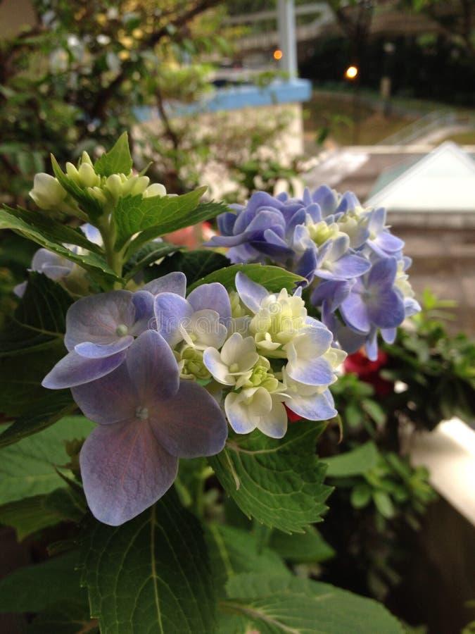 hydrangeas bleus photo libre de droits