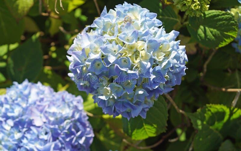 Hydrangeas blu fotografie stock