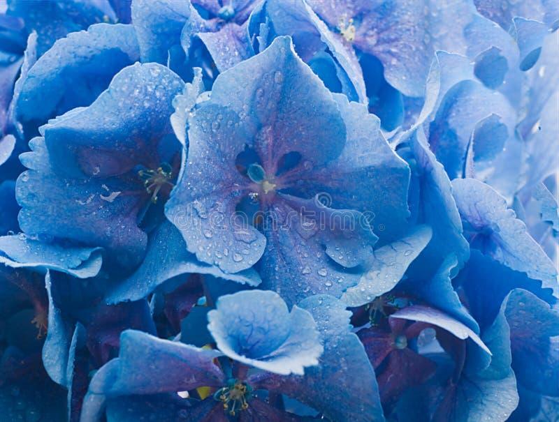 Hydrangeas blu immagini stock libere da diritti