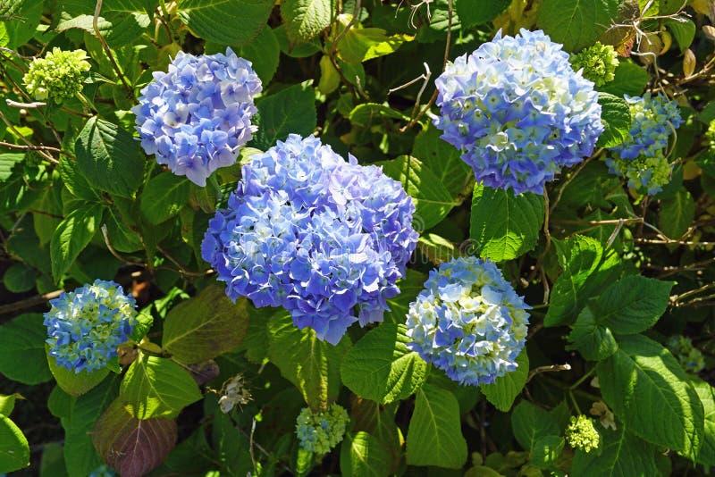 Hydrangeas blu immagini stock