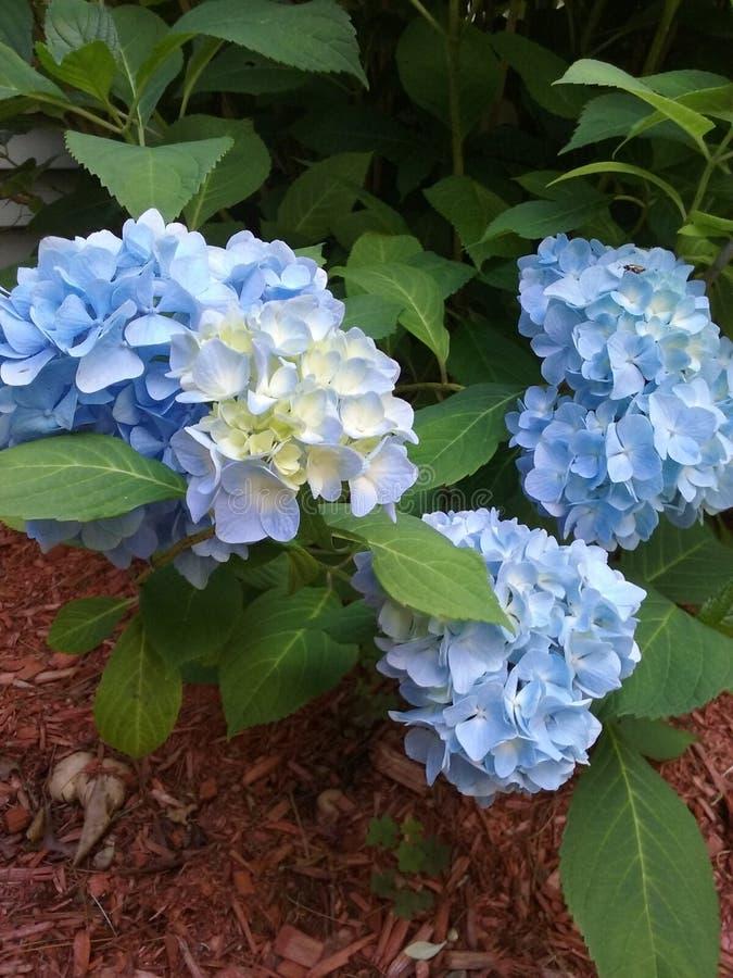 Hydrangeas blu fotografia stock libera da diritti